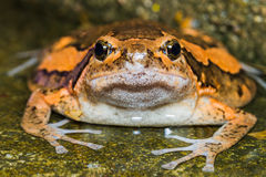 Asian painted frog Stock Photos