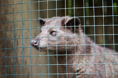 Asian Palm Civet Royalty Free Stock Photo