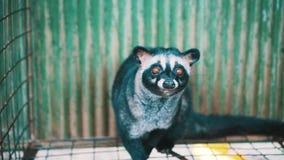 Asian palm civet kept in cage