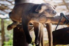 Asian palm civet Royalty Free Stock Photos