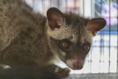 Asian palm civet Royalty Free Stock Images