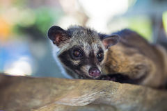 Asian Palm Civet  produces Kopi luwak. Royalty Free Stock Images