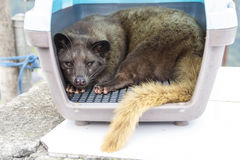 Asian palm civet or toddy cat Stock Photos