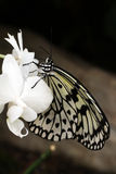 Asian Paper Kite Butterfly. Beautiful Black White Butterfly on an orchid Stock Photo