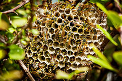 Asian Paper Wasp Nest. Hidden in a bush showing colony of wasps at work stock photo