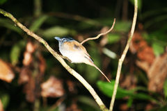 Asian paradise flycatcher Stock Photography