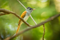 Asian Paradise Flycatcher Royalty Free Stock Images