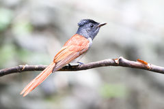 Asian paradise flycatcher bird on the branch Royalty Free Stock Photos