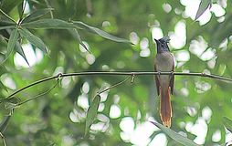 Asian paradise flycatcher female at habitat royalty free stock photos
