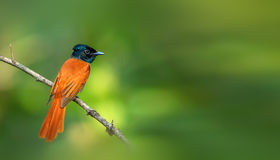 Asian Paradise Flycatcher. Looks for food in the woods Royalty Free Stock Images