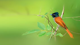 Asian Paradise Flycatcher. Looks for food in the woods Stock Photo