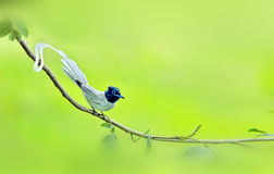 Asian Paradise Flycatcher. Looks for food in the woods Royalty Free Stock Image