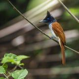 Asian paradise flycatcher in Minneriya national park, Sri Lanka Royalty Free Stock Photo