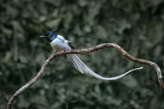 Asian Paradise Flycatcher Royalty Free Stock Image