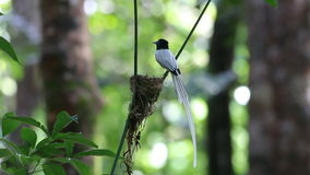 Asian paradise flycatcher Terpsiphone paradisi Male White morph and Baby Birds in the nest stock footage