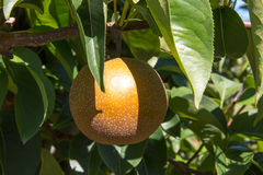 Asian pear Royalty Free Stock Images