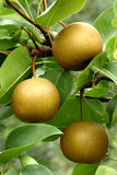 Asian pear fruits (Pyrus pyrifolia) Stock Photo