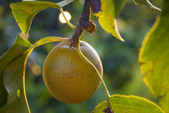Asian Pear on Tree Stock Images