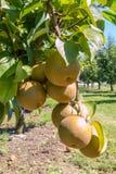 Asian pears Stock Photos