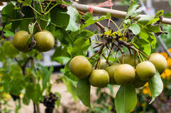 Asian pears fruit on a tree Stock Photos
