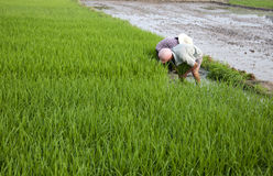 Asian peasantry grow rice Royalty Free Stock Photography