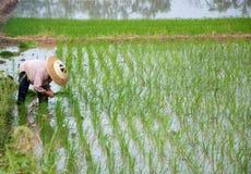 Asian Peasantry Grow Rice Stock Photo