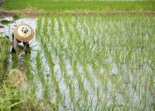 Asian peasantry grow rice Royalty Free Stock Photo