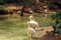 Asian Pelicans cleaning feathers. Pair of asian pelicans cleaning their feathers and asian ibis fishing on the shores of the lake, India stock photography