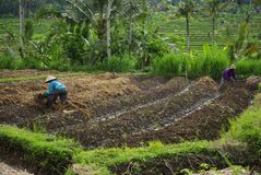 Asian people working in ricefield. Two asian people working in their ricefield stock photo