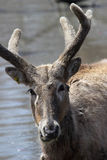 Asian Pere David's Deer Stock Photography