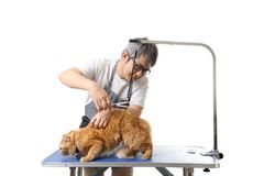 Groomer. The Asian pet groomer standing on the white background Stock Image