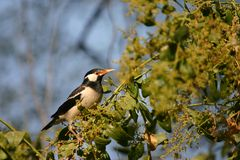 Free Asian Pied Starling Stock Photo - 2231520