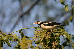 Asian pied starling Stock Photos