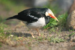 Asian pied starling Stock Image