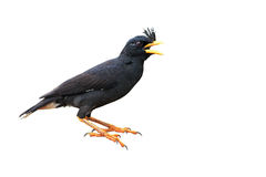 Asian Pied Starling Bird Royalty Free Stock Photo