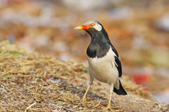 Asian Pied Starling Stock Images