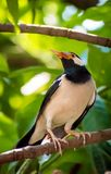 Asian Pied Starling or Pied Myna stock photography