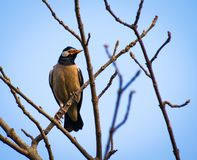 The Asian Pied Starling sitting on branch of tree stock photos