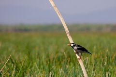 Asian pied starling (Sturnus contra) Royalty Free Stock Photos