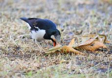 Asian Pied Starling, Sturnus contra Stock Images