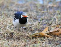 Asian Pied Starling, Sturnus contra Royalty Free Stock Photos