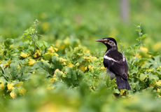 Asian Pied Starling Royalty Free Stock Images