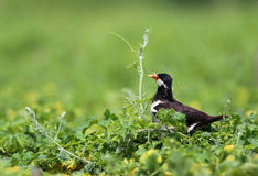 Asian Pied Starling Royalty Free Stock Photography