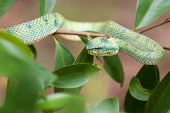 Asian Pit Viper Stock Images