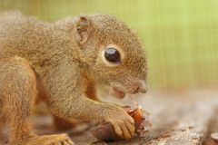 Asian plantain squirrel Stock Photos