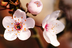 Asian plum blossom macro. Shallow deep of field. Focus on stamens Stock Photography