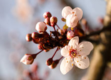 Asian plum blossom macro. Shallow deep of field. Focus on stamens Stock Images