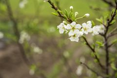 Asian plum flower. White asian plum flower and young leaf in spring Royalty Free Stock Photo