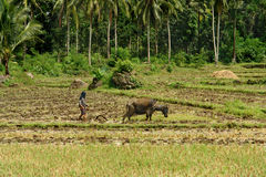 Asian primitive farming. Southeast Asian poor farmer ploughing wet rice field with primitive methods using a domesticated swamp buffalo (carabao) in a tropical Royalty Free Stock Image