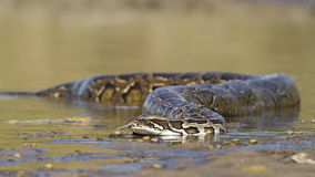 Asian Python in river in Nepal Stock Photos